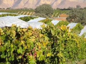Central Valley Citrus Growers Manage through Mid-Season Freeze